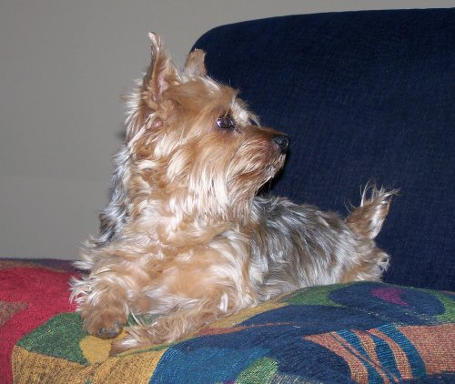 Our Yorkie, Pookie, who graduated from this life at the age of 13 1/2 ...